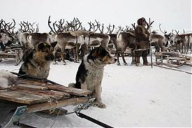 ненцы стойбище олень стадо|Фото