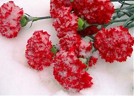 цветы гвоздика|Фото: static.diary.ru