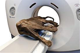 Обследование ямальского мамонтенка|Фото: GE Healthcare | www.gehealthcare.com