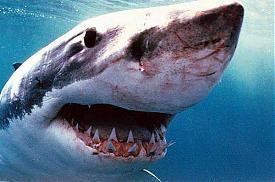 Белая акула, челюсти, тварь, опасность, море|Фото:vsesmi.ru