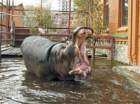 бегемот, Алмаз, екатринбургский зоопарк|Фото:Екатринбургский зоопарк