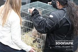 пума, пумята, екатеринбургский зоопарк|Фото:ekazoo.ru