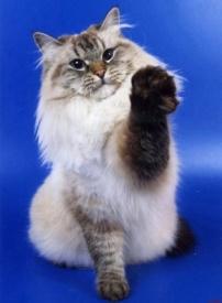 кошка, невская маскарадная|Фото: cats-world.ucoz.com