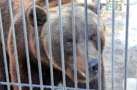 медведь степан ханты-мансийск, клетка, вольер|Фото: admhmansy.ru