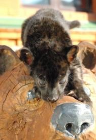 чёрный ягуар Яго|Фото: пресс-служба Екатеринбургского зоопарка