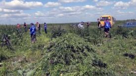 конопляное поле Копейск|Фото:ГУ МВД РФ по Челябинской области