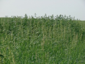 поле конопли|Фото: пресс-служба УФСКН по Свердловской области