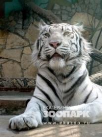 бенгальский тигр зоопарк|Фото: www.ekazoo.ru
