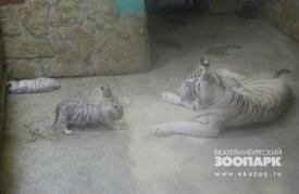 бенгальские тигры зоопарк|Фото: www.ekazoo.ru