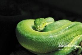 год змеи, зоопарк, живой символ, змея, питон хондрик|Фото:http://www.ekazoo.ru