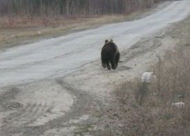 медведь|Фото: