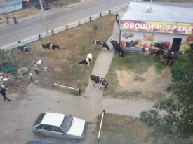 коровы, нефтеюганск|Фото: