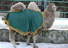 верблюд-факелоносец Челябинск|Фото: Накануне.RU