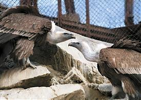 белоголовый сип, птенцы, зоопарк|Фото: ekazoo.ru
