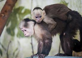 капуцин, обезьяна, зоопарк Фото: Екатеринбургский зоопарк