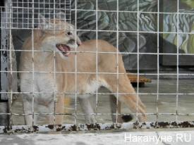 пума зоопарк|Фото: Накануне.RU