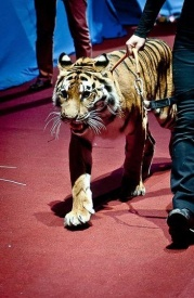 дзюдо, тигр, церемония, открытие, чм, челябинск|Фото: пресс-центр чм по дзюдо