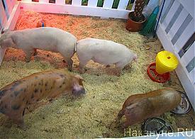 Агропромышленный форум, выставка, свиньи|Фото: Накануне.RU