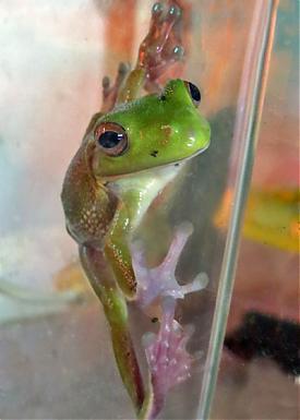 лягушки, Екатеринбургский зоопарк, живтоные, белогубая квакша детеныш|Фото: ekazoo.ru