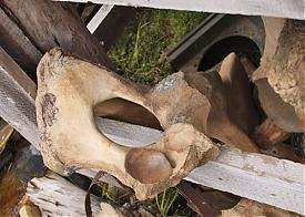 мамонт, кости|Фото: ks-yanao.ru