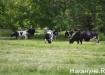 коровы (2017) | Фото:Накануне.RU