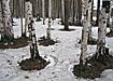 природа лес береза весна|Фото: Накануне.ru