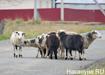 деревня Усть-Утка, овцы (2018)   Фото: Накануне.RU