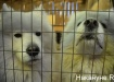 самоедская собака (2019)   Фото:Накануне.RU