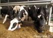 корова ферма молоко|Фото: Накануне.ru