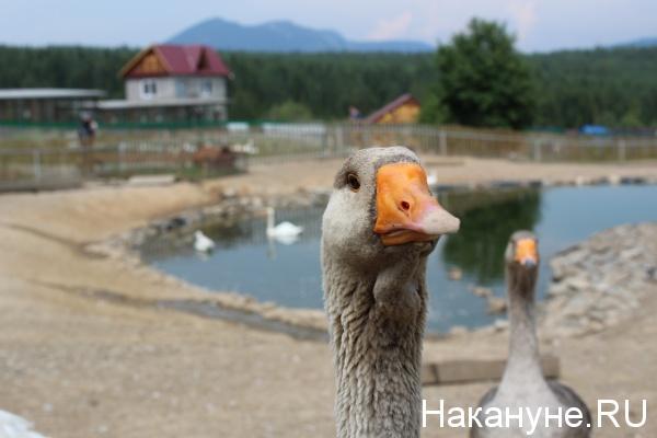 парк птиц Таганай, гусь,|Фото: Накануне.RU