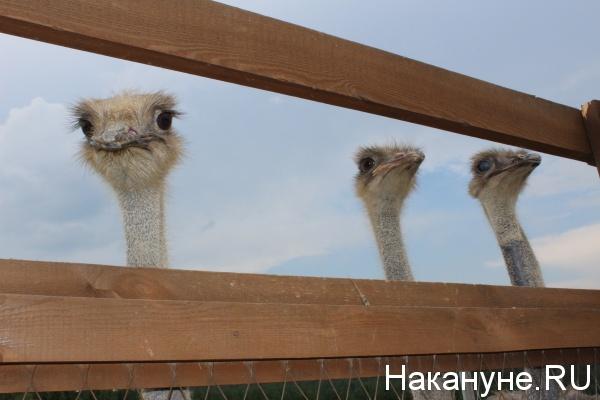 парк птиц Таганай, страусы,|Фото: Накануне.RU