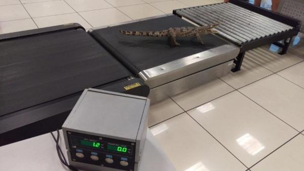 крокодилы чучело Фото: Кольцовская таможня