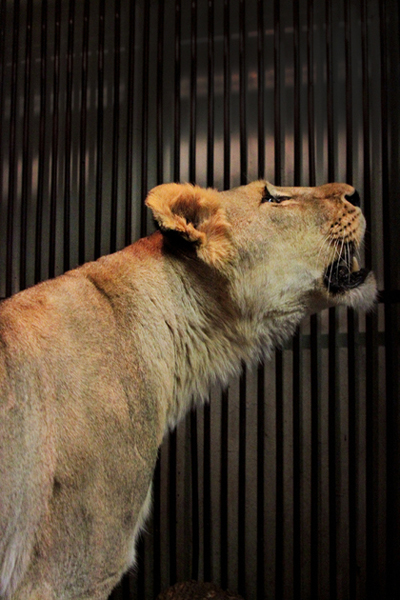 Екатеринбургский зоопарк, львица Фото: Екатеринбургский зоопарк