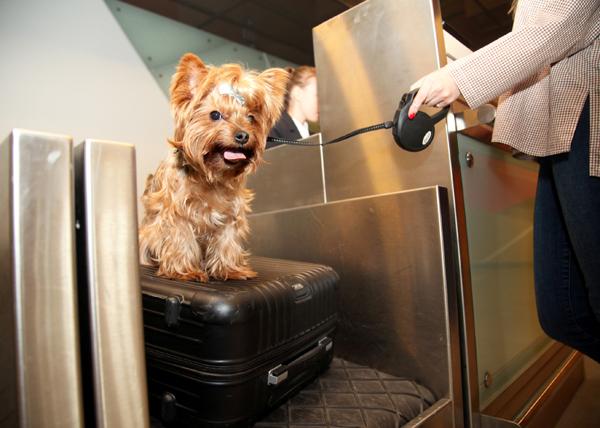 """Кольцово, аэропорт, собака, питомец Фото: пресс-служба аэропорта """"Кольцово"""""""