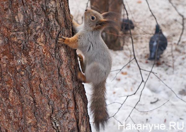 Шарташский лесопарк, белка|Фото: Накануне.RU