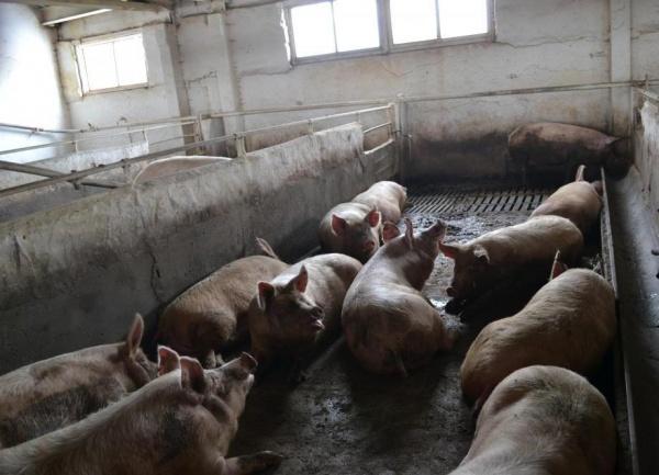 Пермский свинокомплекс Фото: Пресс-служба главного федерального инспектора по Пермскому краю