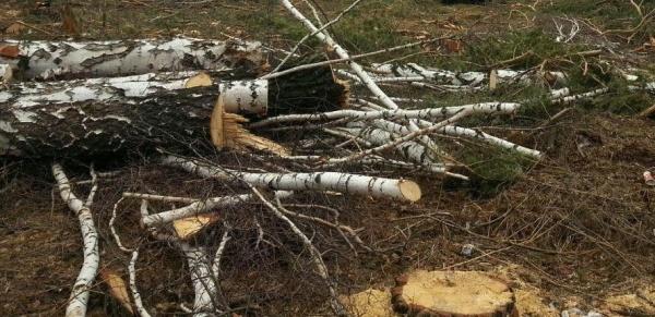 рубка, пень, лес, дерево, черный лесоруб|Фото: Накануне.RU