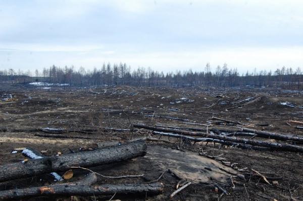 Санитарная вырубка горелого леса|Фото: www.panoramio.com