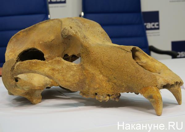 останки пещерного медведя, Урал Фото: Накануне.RU