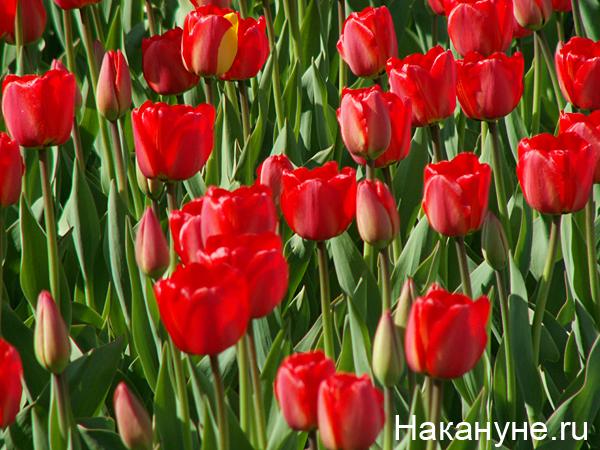тюльпан Фото: Накануне.ru