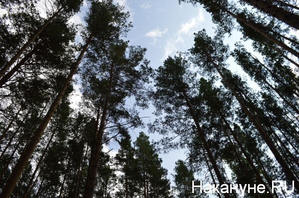 лес, деревья(2018)|Фото:Накануне.RU