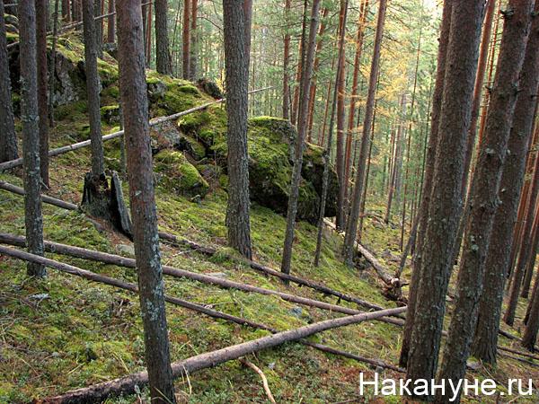 природа лес северный урал|Фото: Накануне.ru