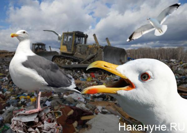 Мусорный полигон, чайка(2019)|Фото: Накануне.RU