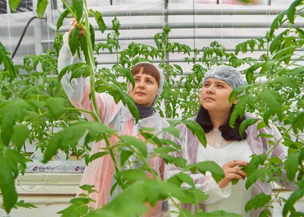 гибриды томатов, выращивание, УГМК-Агро(2020)|Фото: УГМК-Агро
