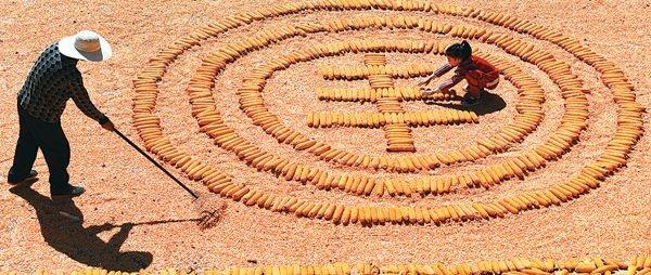 Сбор кукурузы(2020)|Фото: www.ce.cn