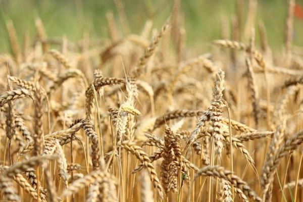 зерно, пшеница, поле, хлеб, колосья, сельское хозяйство(2020) Фото: пресс-служба Воронежской областной думы