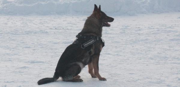 служебная полицейская собака, овчарка(2021)|Фото: В.Н. Горелых
