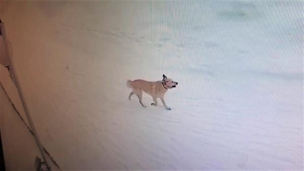 Бродячая собака, Приуральский район(2021)|Фото: Администрация Приуральского района