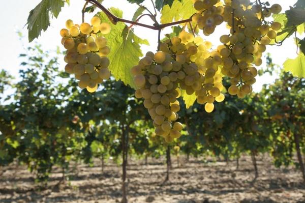 виноград, вино,кубань(2021)|Фото: пресс-служба администрации Краснодарского края