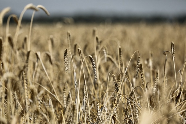 уборочная кампания, уборка урожая, пшеница, поле, сельское хозяйство(2021)|Фото: пресс-служба администрации Краснодарского края